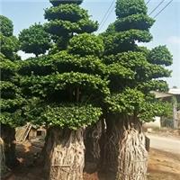 自家大量供应大型景观树造型小叶榕厂