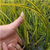 大量低价批发供应优质水生植物金叶石菖蒲