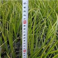 大量低价批发供应优质水生植物金叶石菖蒲厂