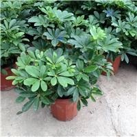 多规格直销供应大型盆栽绿植鸭脚木厂