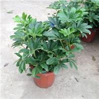 多规格直销供应大型盆栽绿植鸭脚木