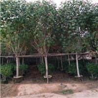 批发供应各种规格绿化工程苗木木芙蓉