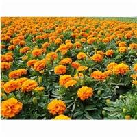 大型花卉种植基地长期特价供应草花金盏菊