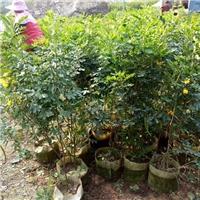 中山苗木基地常年大量供应优质黄花双荚槐厂