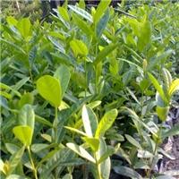 阳台庭园观花盆栽绿植五彩仙丹 大量供应