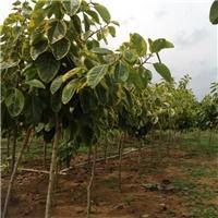 大量批发供应园林绿化乔木丛生富贵榕厂