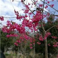 基地直销园林绿化行道树福建山樱花厂