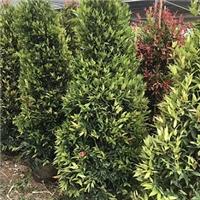园林绿化观叶盆栽绿植红车柱型特价供应