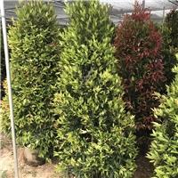 园林绿化观叶盆栽绿植红车柱型特价供应厂