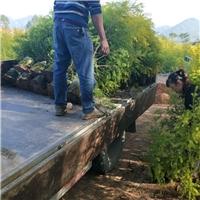 精品绿化行道树黄金宝树长期大量供应厂