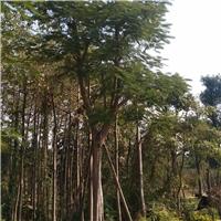 厂家直销优质庭园观花绿化树凤凰木厂