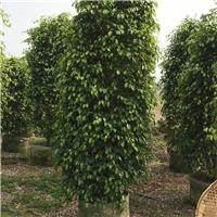 基地批发供应多规格常绿树苗垂叶榕质优价廉