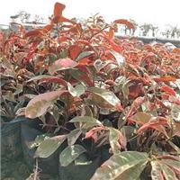 基地直销可盆栽地被绿化苗红背桂价格实惠厂