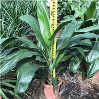 常年大量特价供应优质绿化地被苗大叶青铁