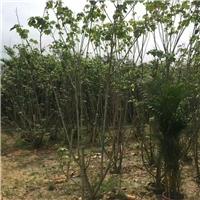 苗木种植基地长期大量供应木芙蓉小苗