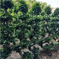 四季常青耐寒可盆栽绿化树小叶榕 规格齐全厂