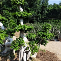 四季常青耐寒可盆栽绿化树小叶榕 规格齐全