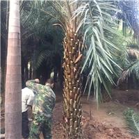 大量供应精选绿化苗木中东海枣 质量可靠厂