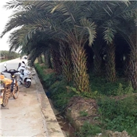 大量供应精选绿化苗木中东海枣 质量可靠