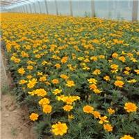 大量批发供应优质阳台种植花卉孔雀草
