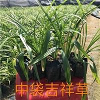 沐阳苗木基地大量供应常绿耐寒地被吉祥草厂
