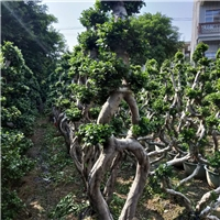 批量供应小区公园可盆栽绿化树小叶榕