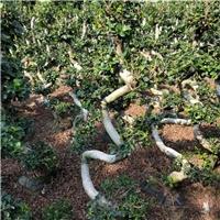 批量供应小区公园可盆栽绿化树小叶榕厂