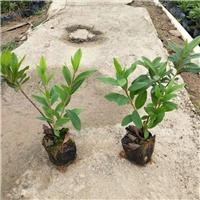 四季常青庭园绿化苗木毛杜鹃常年大量供应