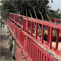 重庆市大型苗木供应基地大量供应黄花槐厂