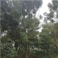福建大量批发供应树形优美景观树蓝花楹厂