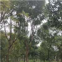 福建大量批发供应树形优美景观树蓝花楹