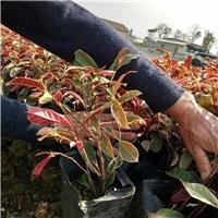 地皮苗木基地批发供应小区工程绿化红背桂