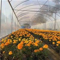 青州花卉供应基地直销盆栽时令草花金盏菊