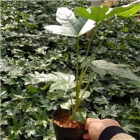 广州花卉基地批量供应室内盆栽植物八角金盘