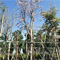 多规格绿化工程苗木宫粉紫荆 质量可靠