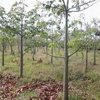 山东苗木种植基地供应树形美观树木棉厂