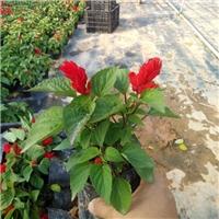 常年大量供应庭园盆栽时令草花一串红厂