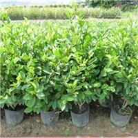 乐昌市苗木基地大量供应浓香型绿植含笑