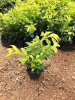 揭阳市苗木供应基地常年大量供应地被黄金叶