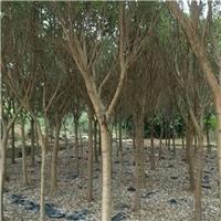 大量批发供应规格齐全景观树红皮榕