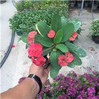 常年大量供应室内桌面优质盆栽花卉虎刺梅