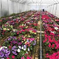 青州花卉基地大量供��七彩盆栽花卉矮�颗�S