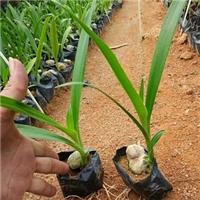 直销供应园林绿化袋苗文殊兰 物美价廉