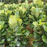 四季常青庭园盆栽观叶植物琴叶榕 特价供应