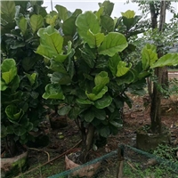 四季常青庭园盆栽观叶植物琴叶榕 特价供应厂