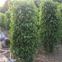 基地批发供应多规格常绿风景树垂叶榕