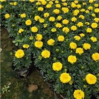 直销供应园艺花海专用花卉万寿菊大量供应