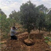 桂花1-30公分产地供应、农户直销、量大