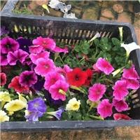 常年大量批�l供��彩色地被花卉植物矮�颗�