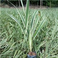 基地直销优质园林绿化用苗山管兰 量大从优厂